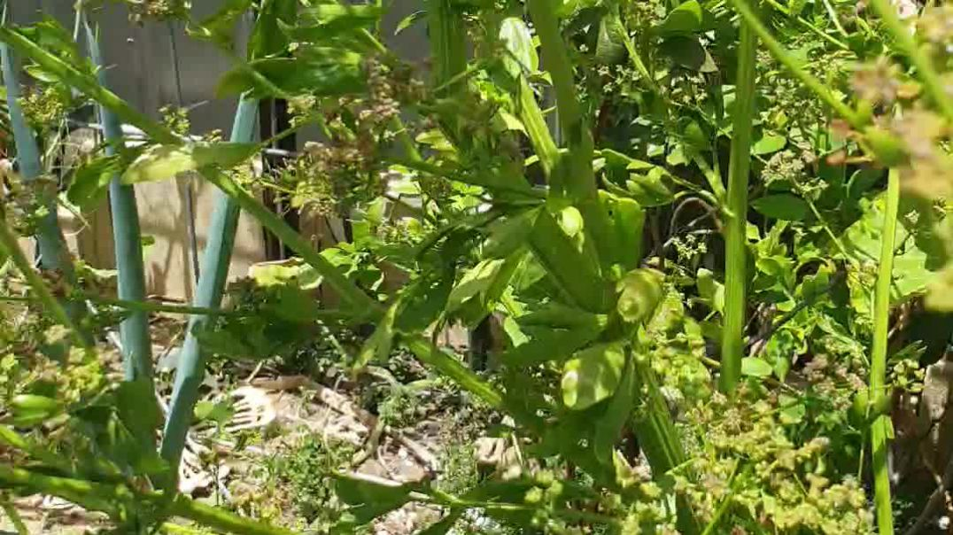 Celery Seed.