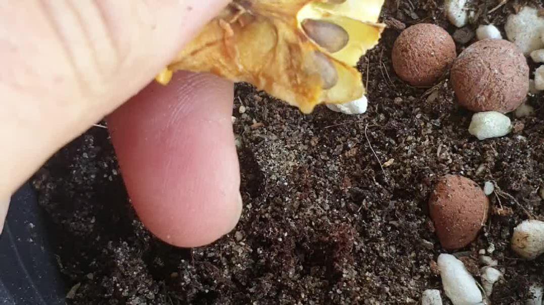 Apple seed planting
