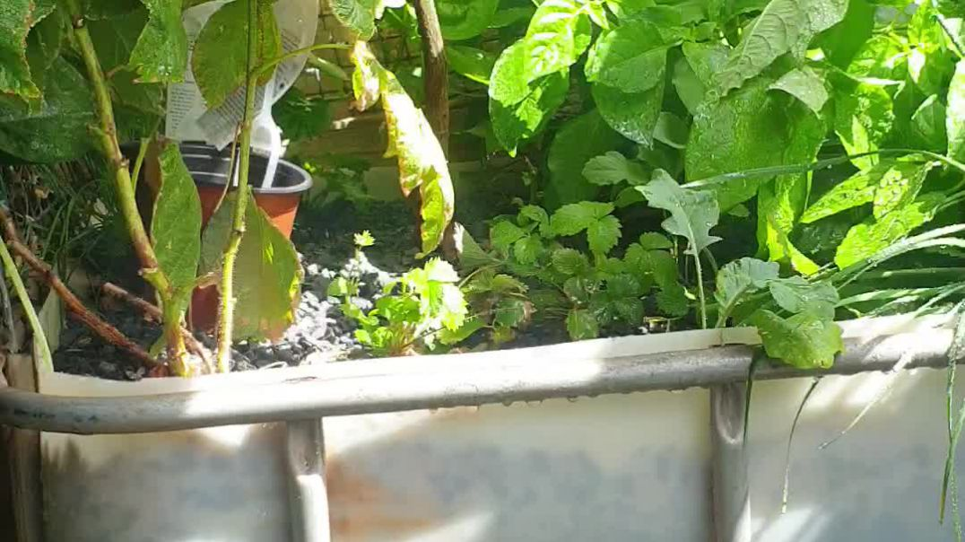 How to get the soil of the root for aquaponics